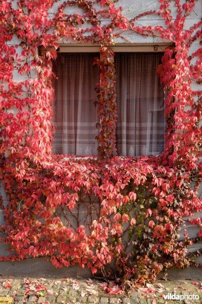 Wingerd in herfstkleur
