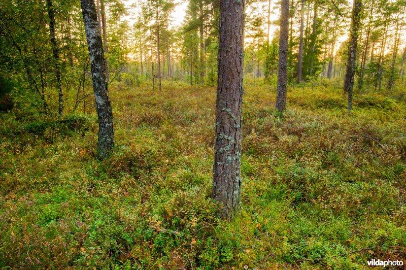 Boslandschap in Store Mosse, Zweden