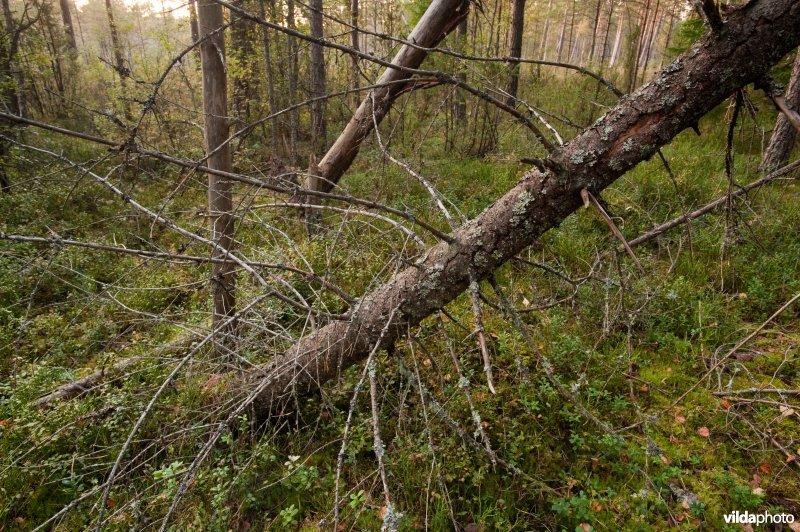 Scandinavisch bos